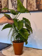 6x Aquarium Pflanzen Wasserpflanzen Anubia