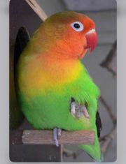 SUCHE Zahmen Agaporniden Liebes Vogel