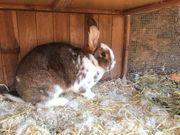 Kaninchen Stallhase