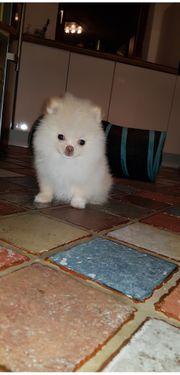 Mini Teacup Pomeranian Rüde mit