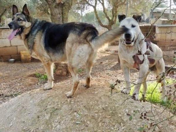 Angelika deutscher Schäferhund Hündin ca