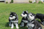 4 Siberian Husky Welpen übrig