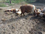 Ferkel Schweine rotbunte Husumer