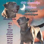 Wurfankündigung Labrador mit Ahnentafel