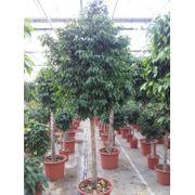 Ficus Benjamina columnar - Treurvijg art18522