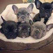 Französische Bulldogge Welpenwhatsapp 4915 211447