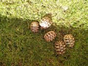 Griechische Landschildkröten THB NZ 2020