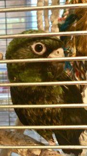 grünes Kongo Papagei Pärchen