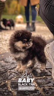 Pomeranian Zwergspitz BOO