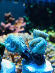 LPS Korallen Korallenableger Meerwasser mit