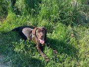 Labrador 6 Monate