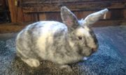 Kaninchen Rhönkaninchen
