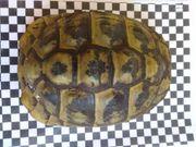 Griechische Landschildkröten 2 Weibchen eierlegend