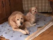 Tierschutz Labrador Aslan sucht ein