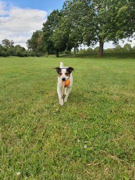 Bild 4 - Jack-Russel Terrier sucht Hündin zum - Euskirchen Innenstadt