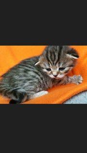 BKH Reinrassige Kitten nur 1