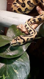 Teppichpython morelia mcdowell boa constrictor