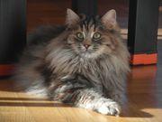 Hübsche Sibirische Katze weiblich mit