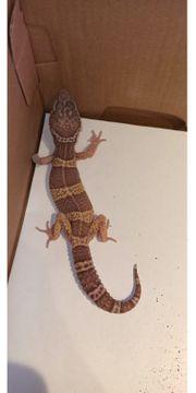 Leopardgecko 1 0 tramper Albino