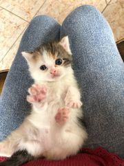 süßes Perser Kätzchen Tricolore