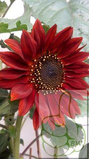 Sonnenblume Dunkelrot Samtkönigin Höhe bis