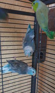Sperlinge Papageien Pärchen