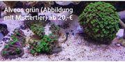 Korallen Ableger SPS LPS ab 3