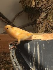 Sehr schöne junge Kanarienvögel aus
