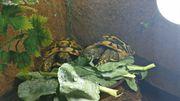 Griechische Landschildkröten mit Übergangsterrarium