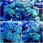 Meerwasser Euphyllia paraancora pro Polyp