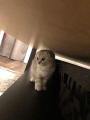 Süße Scottish Fold Kätzchen