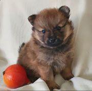 Reinrassige Pomeranian Boo Welpe