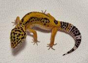 Leopardgecko BN Cross NZ 2021
