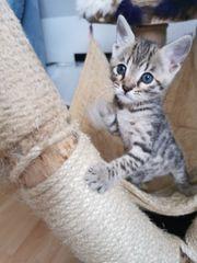 Bengal kitte