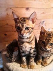 Bengal Katzen zu verkaufen