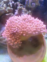 Kupfer anemone zu verkaufen