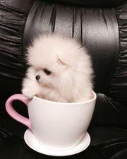 Boo Pomeranian Welpen für Annahme