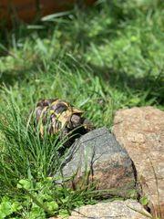 2 Griechische Landschildkröten abzugeben
