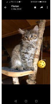 Reinrassiges Maine Coone Kitten