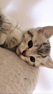 Britisch Kurzhaar Kitten suchen Liebevolles
