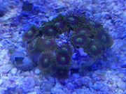 Zoanthus Krustensnemonen Korallen