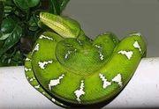 Corallus caninus oder Grüne Hundskopfboa