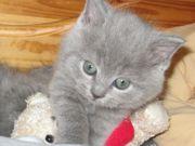 BKH Katzenbaby Kater Kitten reinrassig