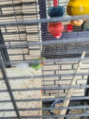 Rosenkopf Papagei