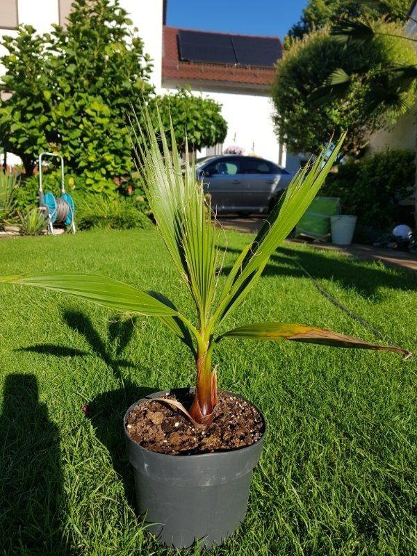 Winterharte Palmen Washingtona robusta Nachzuchten