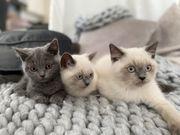BKH Kitten - Das besondere erleben