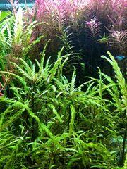 Fiederspaltiger Wasserfreund - Hygrophila Pinnatifida