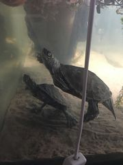Wasserschildkröten Schön und Interessant