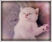 BKh Kitten Kätzchen Katze mit