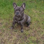 Deckrüde Französische Bulldogge solid blue